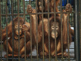 A Trio of Orphaned Orangutans in a Cage at a Rehabilitation Center Photographic Print by Tim Laman