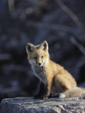 An Arctic Fox Poses on a Rock Photographic Print by Paul Nicklen