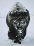 A Frost-Covered American Bison Bull Walks Through the Snow Fotografisk trykk av Tom Murphy