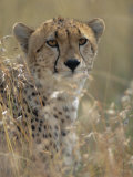 A Cheetah Hides in the Brush Photographic Print by Roy Toft