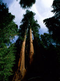 Giant Sequoia Trees Looking Skyward Lámina fotográfica por Blair, James P.