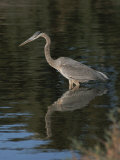 Great Blue Heron Photographic Print by Marc Moritsch