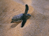 A Green Turtle Hatchling Struggling from its Nest in the Sand Photographic Print by Wolcott Henry