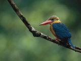 A Colorful Stork-Billed Kingfisher, Pelargopsis Capensis Photographic Print by Tim Laman