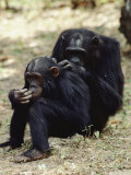Two of the Many Chimpanzees Studied by Jane Goodall at Gombe Stream National Park Photographic Print by Kenneth Love