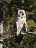 A Great Gray Owl Yawns as it Perches on a Tree Branch Photographic Print by Tom Murphy