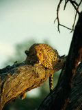 A Leopard Rests on a Large Tree Branch Photographic Print by Beverly Joubert