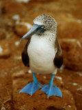 Blue-Footed Booby in a Rookery Photographic Print by James P. Blair