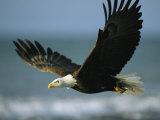 An American Bald Eagle in Flight over Water with a Fish in its Talons Fotografisk tryk af Klaus Nigge