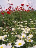Culture de fleurs sauvages dans un kibboutz au printemps Photographie par Richard Nowitz