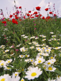 Wildflower Farming on a Kibbutz in Springtime Fotografie-Druck von Richard Nowitz