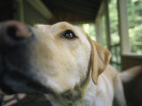 A Close View of a Yellow Labrador Retriever Photographic Print by Heather Perry