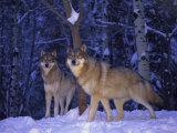 Gray Wolves in the New-Fallen Snow at the International Wolf Center Fotografisk trykk av Joel Sartore