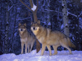Gray Wolves in the New-Fallen Snow at the International Wolf Center Photographic Print by Joel Sartore