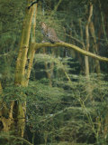 A Leopard Sits in a Tree Photographic Print by Roy Toft