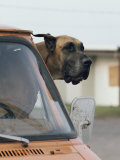 View of a Great Dane Sticking its Head out a Window of a Parked Car Photographic Print by Joseph H. Bailey
