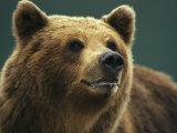 A Close View of the Face of a Brown Bear Fotografisk tryk af Klaus Nigge
