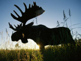 A Moose Stands in Bluejoint Grass at Sunset Photographic Print by Joel Sartore