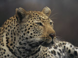 Close View of a Leopard Photographic Print by Kim Wolhuter