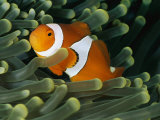 A Close-View Photograph of a False Clown Anemonefish Photographic Print by Wolcott Henry