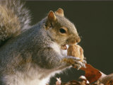 An Eastern Gray Squirrel Eats a Walnut Photographic Print by Chris Johns