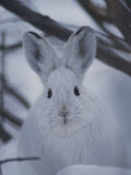 Snowshoe Hare with Big Ears Photographic Print by Michael S. Quinton