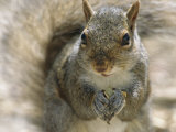 A Gray Squirrel Holds a Seed it is Feeding on in its Front Paws Photographic Print by Maria Stenzel