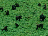 Elevated View of Lowland Gorillas (Gorilla Gorilla Gorilla) Foraging in the Bai Photographic Print by Michael Nichols