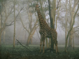 A Giraffe Stands in the Early Morning Mist Photographic Print by Chris Johns