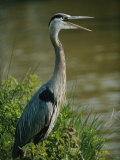 A Great Blue Heron Stands in a Marsh Photographic Print by George Grall