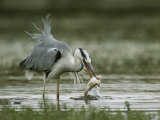 Gray Heron with a Freshly Caught Fish in its Mouth Photographic Print by Klaus Nigge