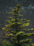 Spruce Tree Along Skyline Drive Photographic Print by Raymond Gehman
