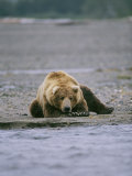 An Alaskan Brown Bear Waits to Catch a Fish on the Banks of a River Photographic Print by Roy Toft