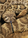 Mojave Rattlesnake Photographic Print by George Grall