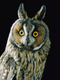 A Long-Eared Owl Photographic Print by George F. Mobley
