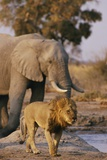 African Elephant and Lion at a Water Hole in Chobe National Park Fotografisk trykk av Beverly Joubert