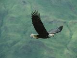 American Bald Eagle in Flight Fotodruck von Tom Murphy