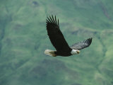 American Bald Eagle in Flight Photographic Print by Tom Murphy