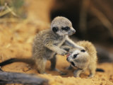 A Pair of Four-Week-Old Meerkat Pups Romp Near Their Burrow Photographie par Mattias Klum
