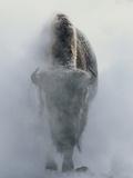 Spookachtige bizon omgeven door mist in de winter, Yellowstone National Park, VS Fotoprint van Norbert Rosing