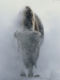 Ghostly Bison in Steam During Winter, Yellowstone National Park 写真プリント : ノアバート・ロージング