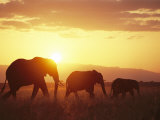A Family of African Elephants Walk at Twilight Photographic Print by Roy Toft