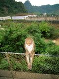 Monkey on a Fence at Baiyu Cavern Stampa fotografica di Gehman, Raymond