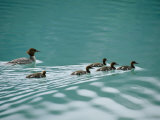 A Family of Merganser Ducks Swim in a Lake Photographic Print by Michael Melford