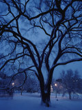 Huge Snow-Covered Tree in Boston Common, the Oldest Public Park in the United States Photographic Print by Medford Taylor