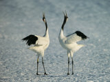 A Pair of Japanese or Red Crowned Cranes Engage in a Courtship Dance Lámina fotográfica por Tim Laman