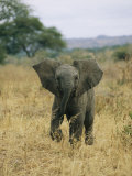 A Juvenile African Elephant Takes a Walk Photographic Print by Roy Toft