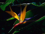 Bird of Paradise Flower Lámina fotográfica por Gehman, Raymond