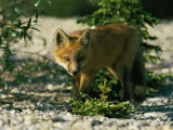 Juvenile Red Fox Photographic Print by Norbert Rosing