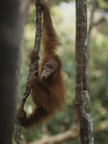 A Young Orangutan Climbs a Tree at an Orangutan Rehabilitation Center Photographic Print by Michael Nichols